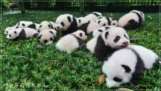 パンダの飼育員になるには?資格や求人は?年収はどれくらい?pa1